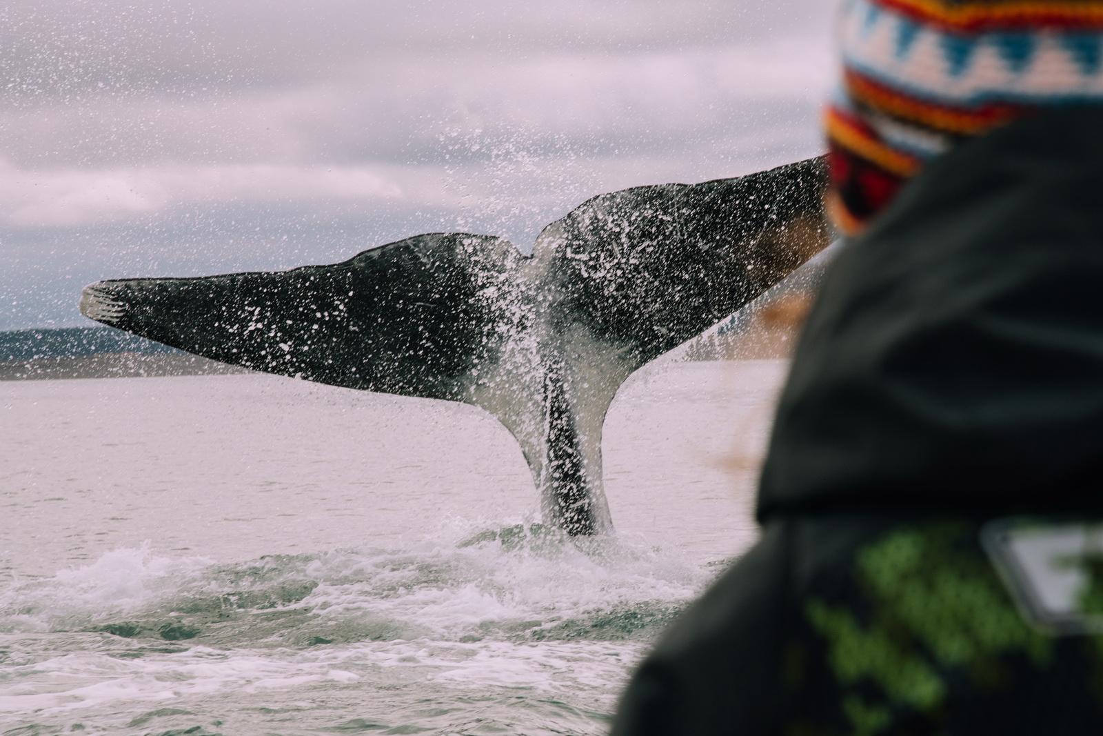 Гренландский кит бъёт хвостом (бухта Онгачан, Шантарские острова, автор Григорий Кубатьян)